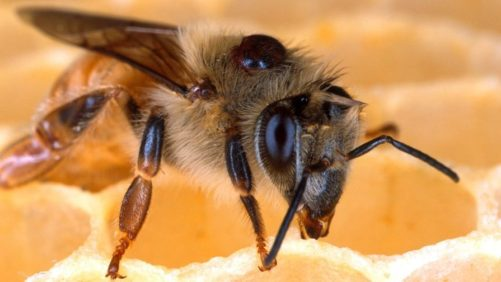Report: 90% of NY Beehives Had Varroa Mites in 2016