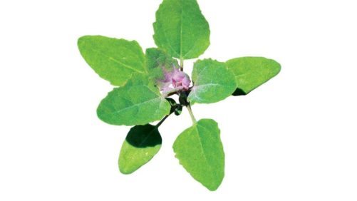 Field Scouting Guide: Common Lambsquarters