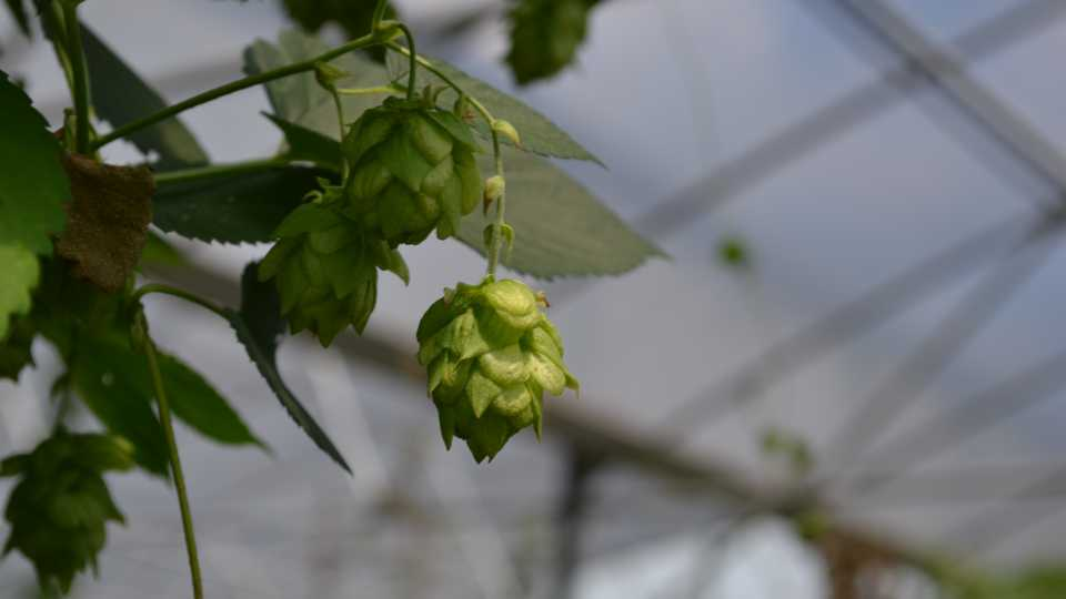Florida hops in hoophouse at UF/IFAS MREC