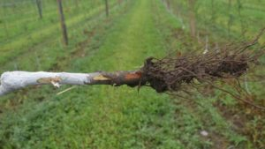 Wet Weather Breeds Phytophthora in Young Apple Plantings