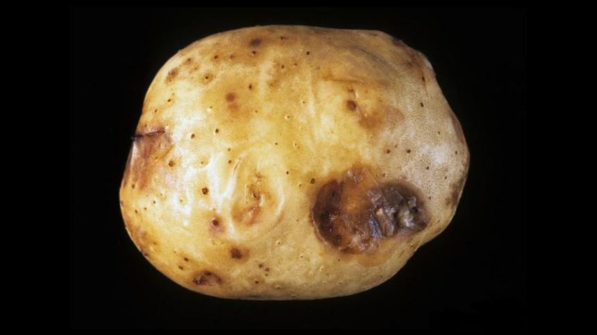 Why Some of the Most Dangerous Potato Diseases are Successful