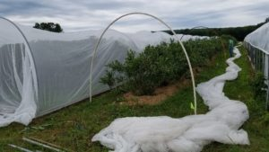 New York Berry Crops Field Day Slated