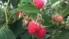 Raspberry bush at Wish Farms in Florida