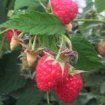 Raspberry bush at Wish Farms in Florida