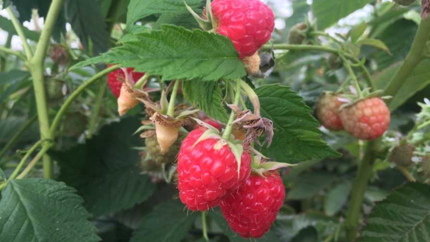 Wish Farms Boosts Product Portfolio With Raspberries