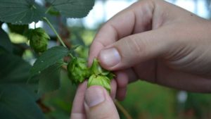 Why Hops Should Be Considered a Superfood