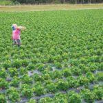 Strawberry fieldworker in Florida