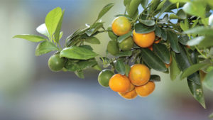 Family Citrus Farmers Face Tough Times [Opinion]