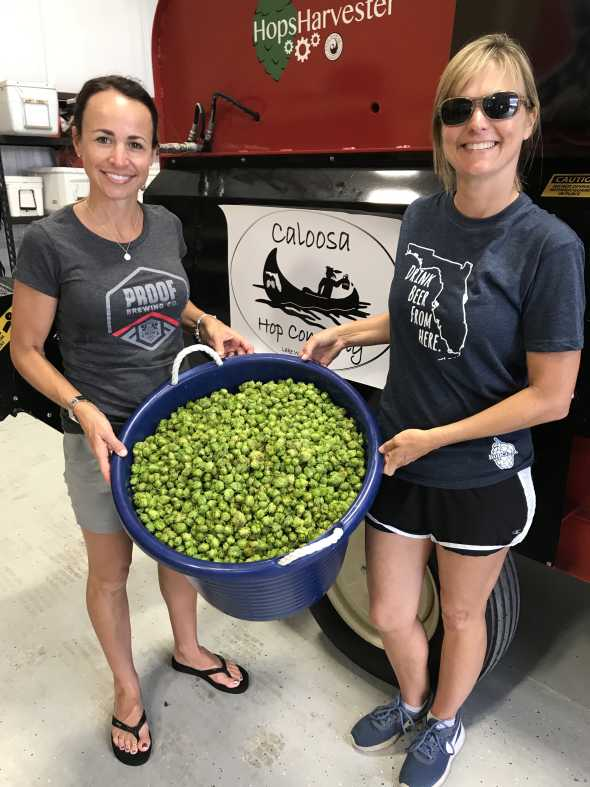 Harvest time at Caloosa Hop Co.