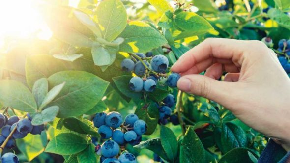 Picking fresh Florida blueberries
