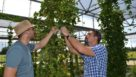 Checking hop cones at UF/IFAS MREC