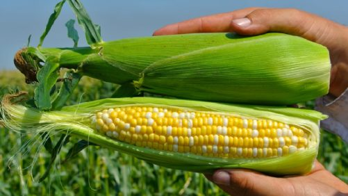13 A&C Superior Corn Varieties for Growers and Consumers