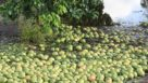 A sea of citrus fruit floating in floodwater after Irma