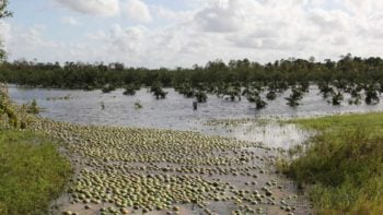 A water-logged citrus grove in Southwest Florida following Irma