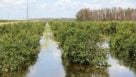 Swamped citrus in Southwest Florida
