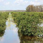 Swamped citrus in Southwest Florida