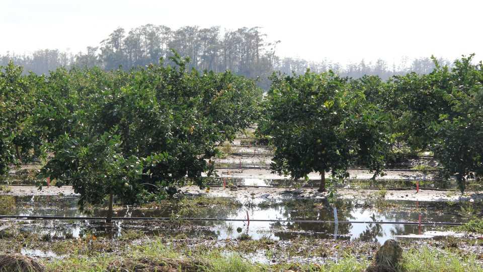 Soggy citrus trees following Irma