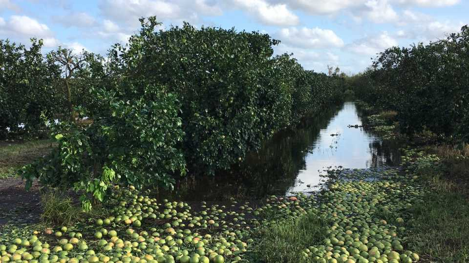 citrus grove damage from Irma at SWFREC in Immokalee