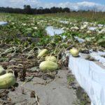 Winter melon damage from Hurricane Irma in Elkton, FL
