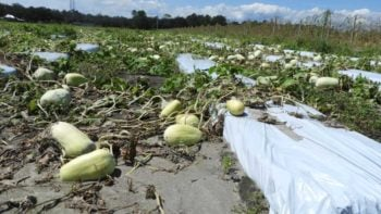 Winter melon damage from Hurricane Irma in Elkton, FL