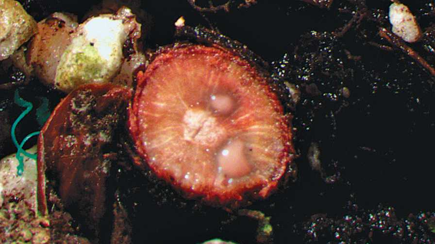 bacteria oozing from an infected blueberry bush crown