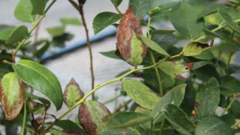 Bacterial wilt symptoms on blueberry leaves
