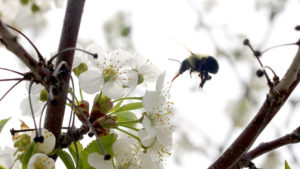Many Pollinators Boost Cherry Yields — Not Just Honeybees