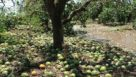 Fallen citrus fruit in wake of Irma