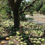 Fallen citrus fruit in wake of Irma