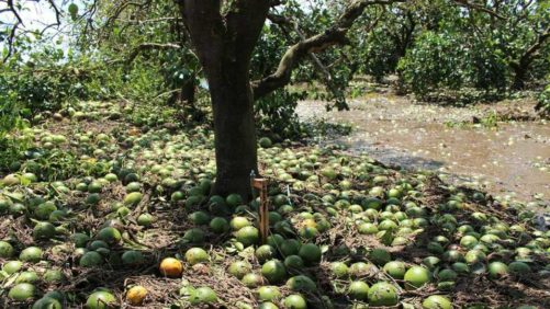 Hurricane Irma After-Effect Catching up to Florida Citrus Estimate
