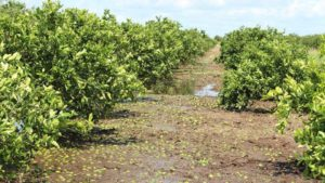 Florida Citrus Associations Sharpen Focus on Industry Recovery