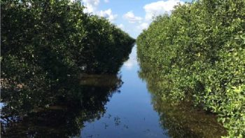 Flooded citrus groves from Irma at Bethel Farms in Arcadia