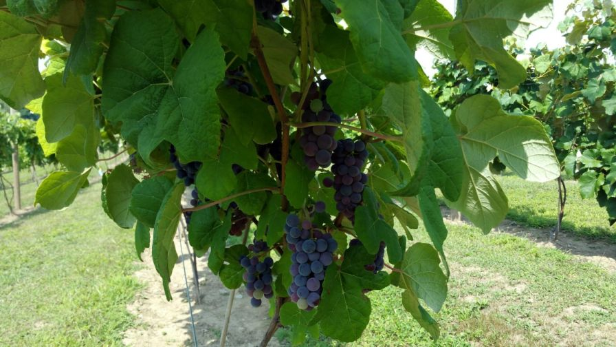 New england researchers study viability of seedless table grapes varieties growing produce - Seedless grape cultivars ...