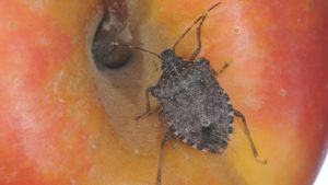 Southeast Invaded by Brown Marmorated Stink Bug