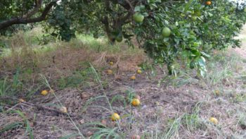 Citrus fruit drop from Hurricane Irma as seen during Biocontrols East 2017 tour