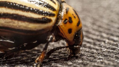 Potato Pest Management Isn't Likely to Get Any Easier