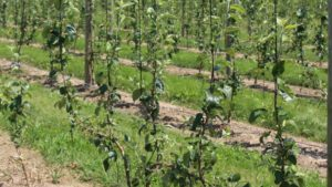What You Need to Know About Multileader Systems for Apple Trees