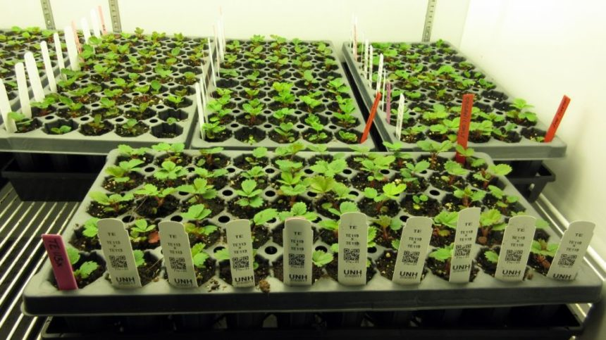 First Organic Strawberry Varieties to be Developed
