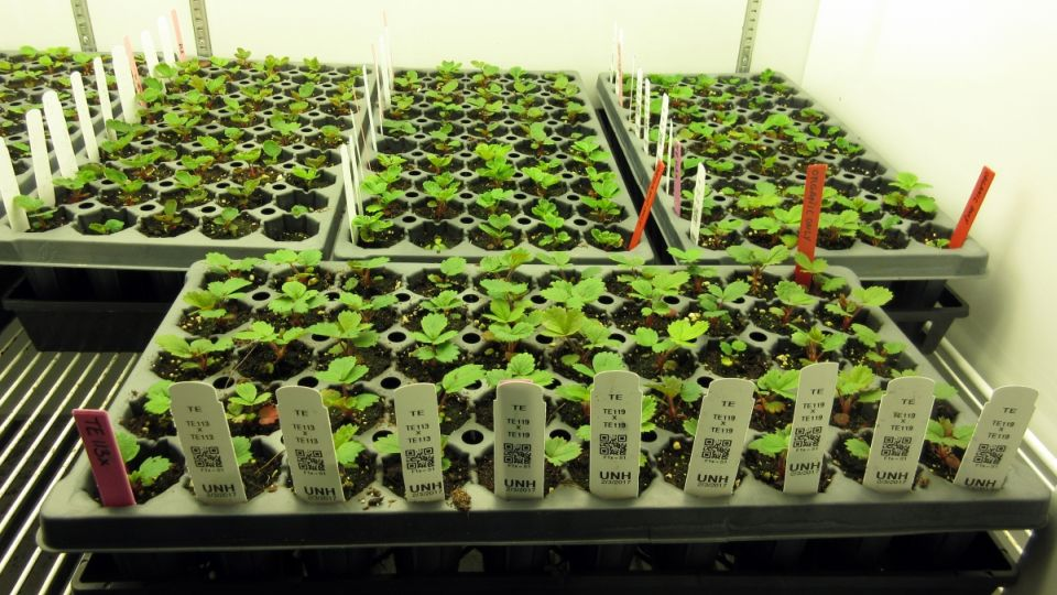 Organic Strawberry Seedlings Are Pictured At The Macfarlane Research Greenhouses Photo University Of New Hampshire