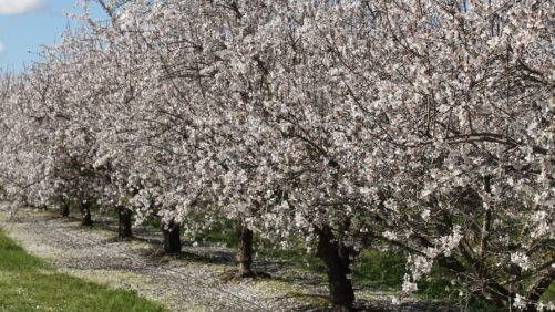 California County Seeks State Disaster Declaration for Almond Freeze