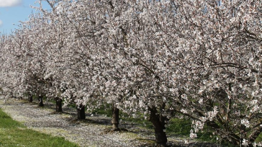 Tips to Maximize Almond Yield in a Wet Year