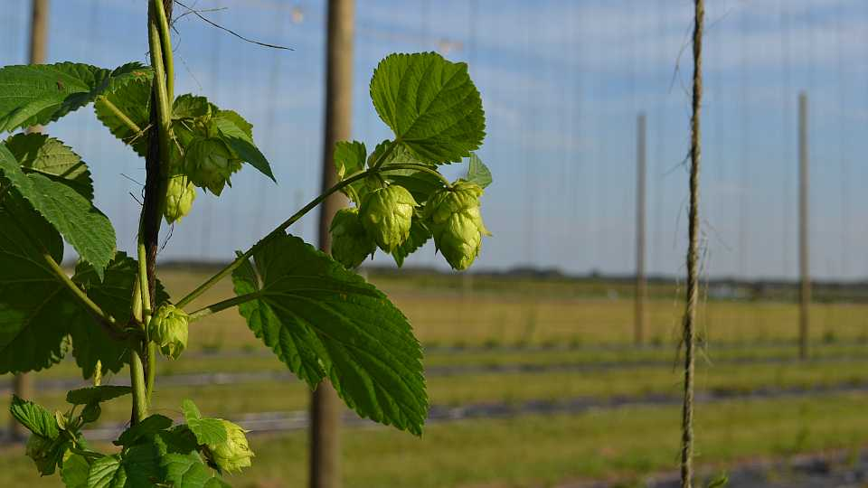 Hops plants and cones