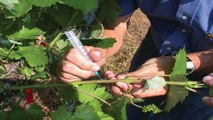 Could This Biological Control Help Save the Wine Industry?