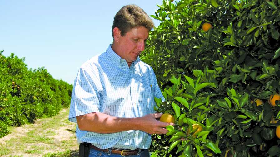 Jim Snively of Southern Gardens Citrus checks oranges in a grove