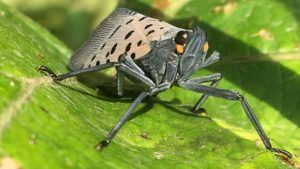 Spotted Lanternfly Discovered in Delaware