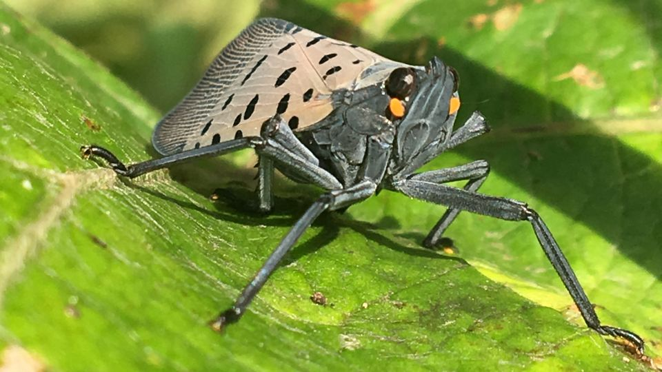 Spotted Lanternfly Discovered in Delaware - Growing Produce