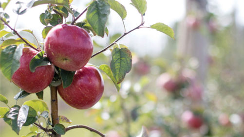 Midwest Apple Improvement Association Breeds Fruit for the Modern Consumer