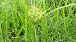 Field Scouting Guide:  Yellow Nutsedge