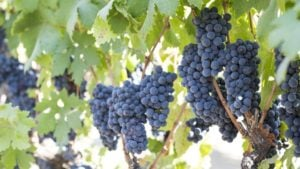 California Winegrowers Report Excellent Harvest