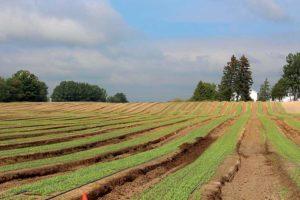 Leafy Greens Field at Basore Farms in Michigan